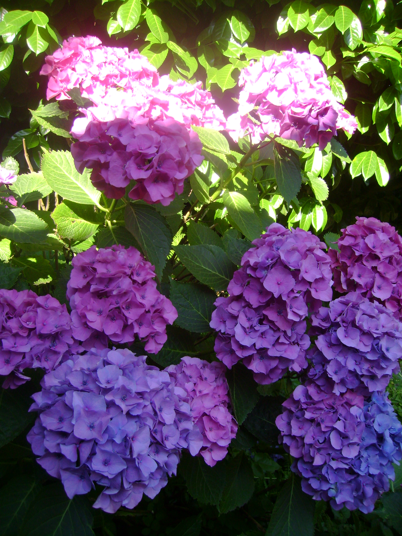 garden hydrangea Serendipity