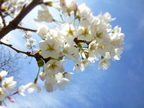 Cherry Blossoms and blue skies