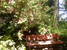 camellia with bench at grotto