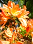 dance flowers orange azalea